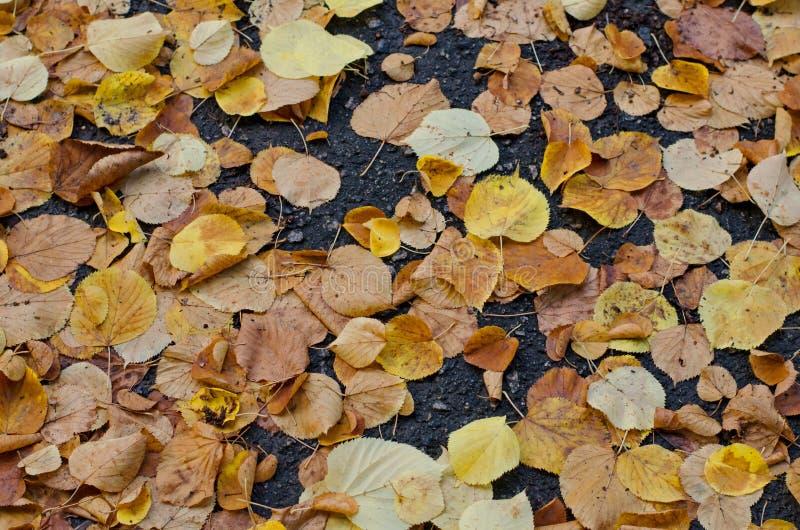 Foglie di autunno cadute dell'albero di cenere su fondo di asfalto grigio fotografia stock