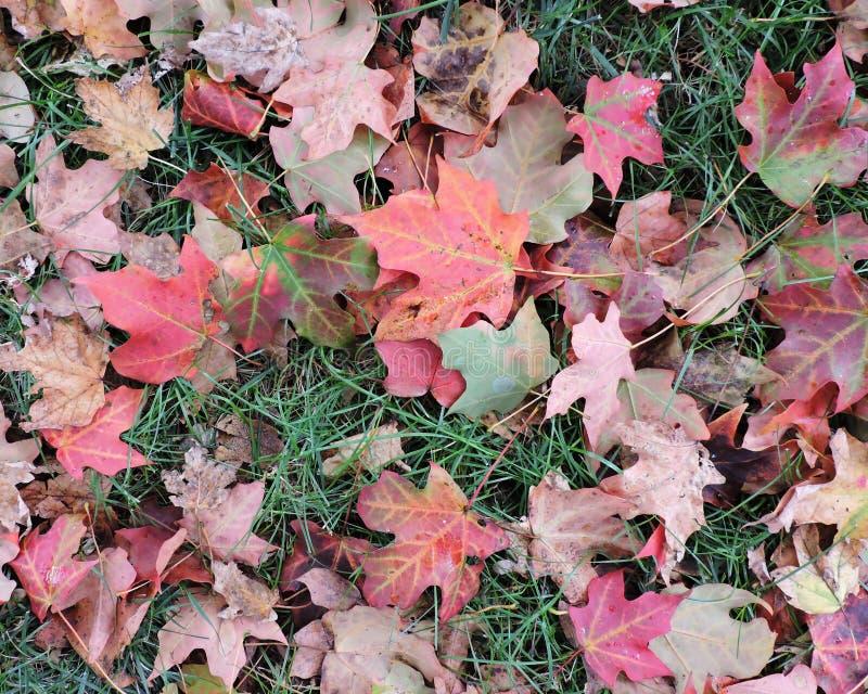 Foglie di autunno cadute su erba immagine stock
