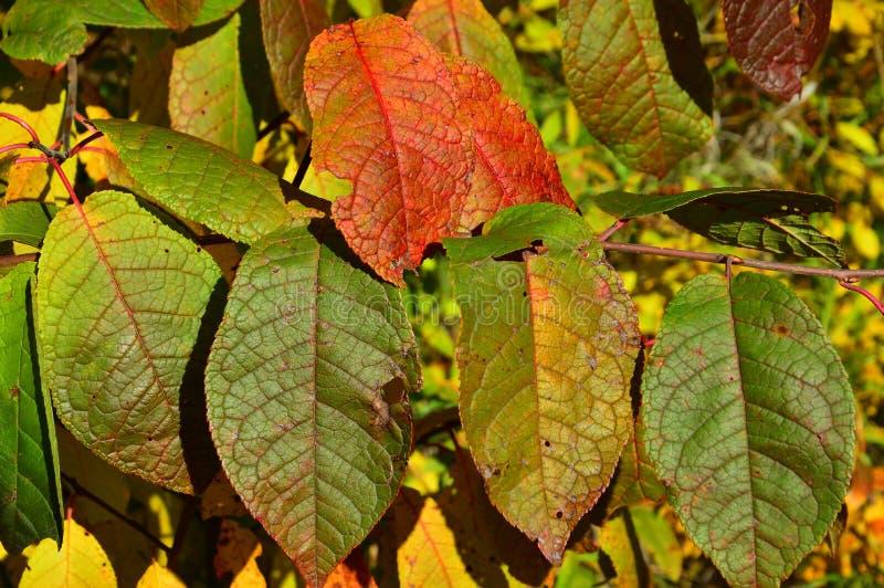 Foglie di autunno colorate della ciliegia di uccello backgrounds fotografie stock
