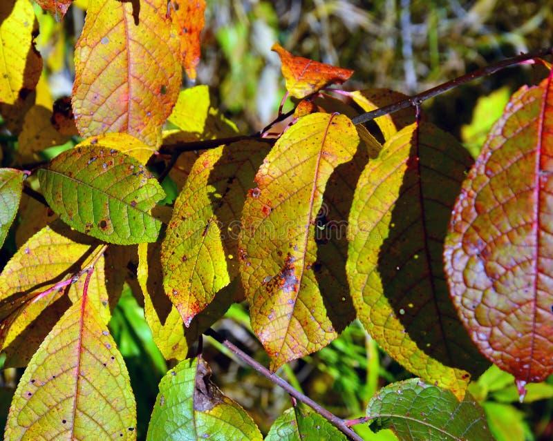 Foglie di autunno colorate della ciliegia di uccello backgrounds Chiaro giorno soleggiato tabella variopinta della zucca dell'acc fotografie stock