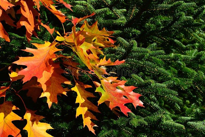 Foglie di autunno decorative rosse e gialle della quercia rossa nordica, quercus rubra latino di nome davanti ai rami coniferi de immagini stock libere da diritti