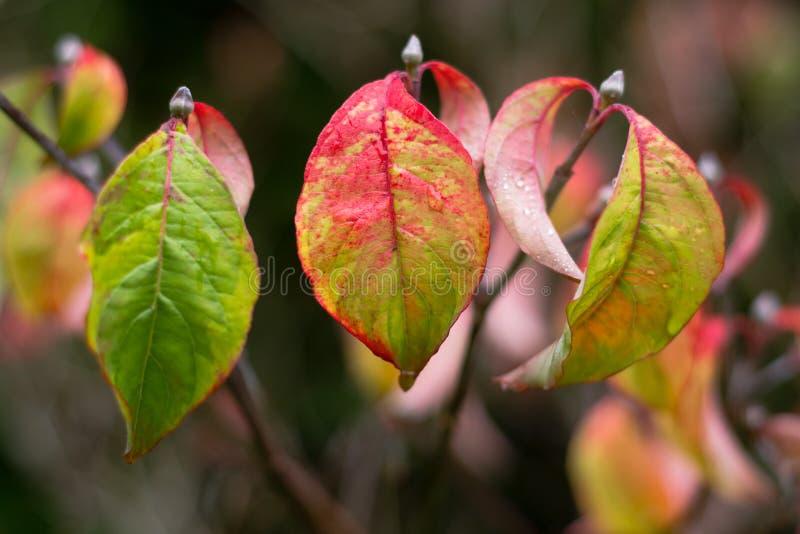 Foglie di autunno del ` dell'arcobaleno del ` di cornus florida immagine stock