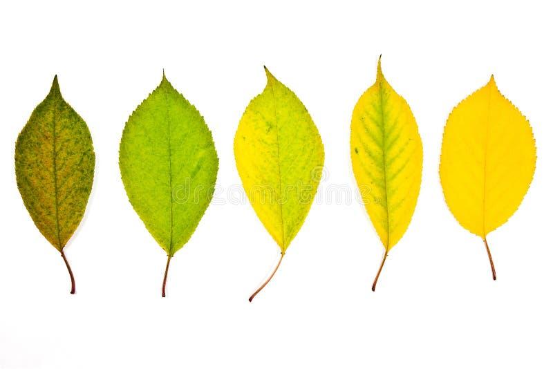 Foglie di autunno della raccolta del ciliegio isolate su bianco con fotografia stock