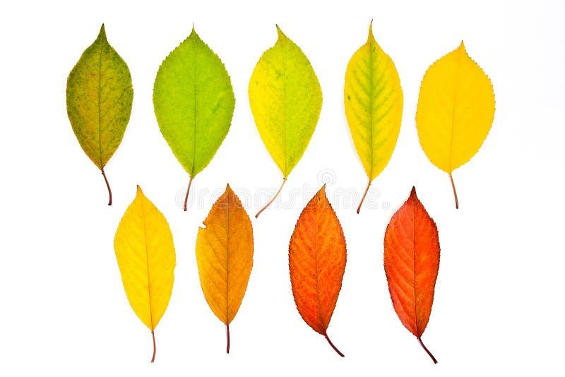 Foglie di autunno della raccolta del ciliegio isolate su bianco con immagine stock