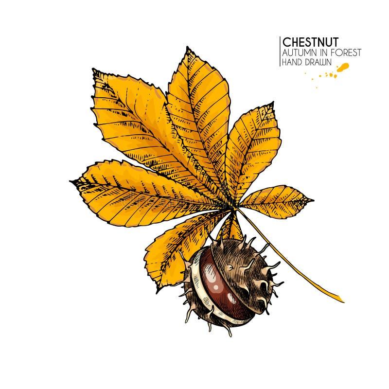 Foglie di autunno disegnate a mano Icona variopinta isolata vettore della foglia e del dado del castagno Folliage della foresta d royalty illustrazione gratis
