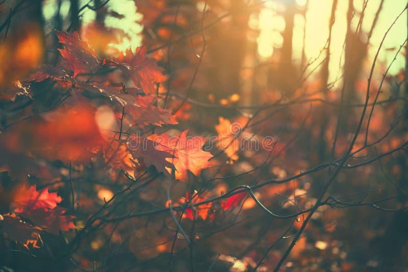 Foglie di autunno fondo, contesto Paesaggio, foglie che oscillano in un albero in parco autunnale Caduta Querce con le foglie var immagine stock