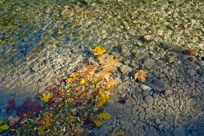 Foglie di autunno gialle in chiara acqua di un fiume della montagna fotografia stock