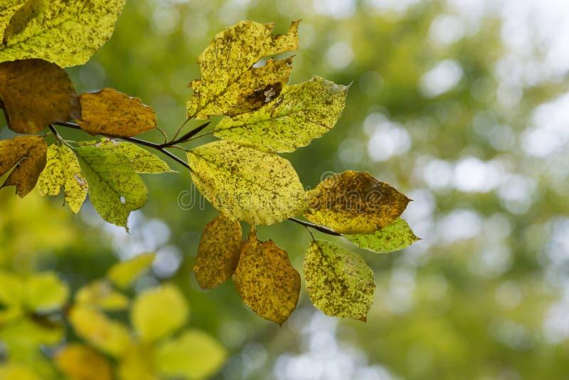 Foglie di autunno gialle del faggio su un ramo fotografia stock libera da diritti