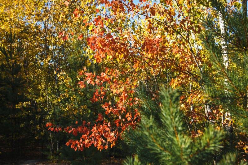 Foglie di autunno gialle e rosse sugli alberi fotografia stock libera da diritti