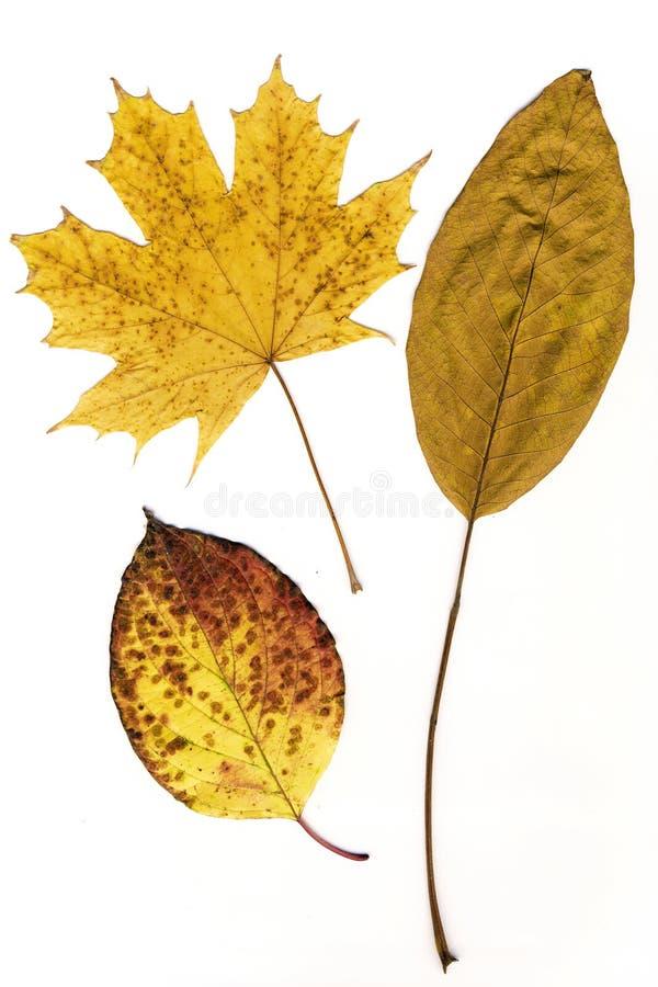 Foglie di autunno gialle isolate su un fondo bianco immagine stock libera da diritti