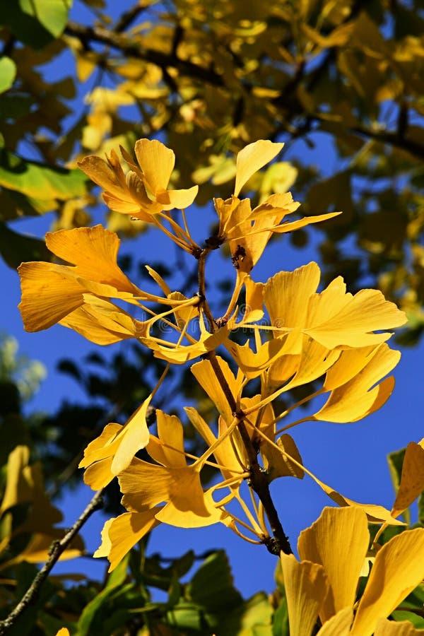 Foglie di autunno gialle luminose dell'albero del ginkgo biloba, fondo del cielo blu immagini stock libere da diritti