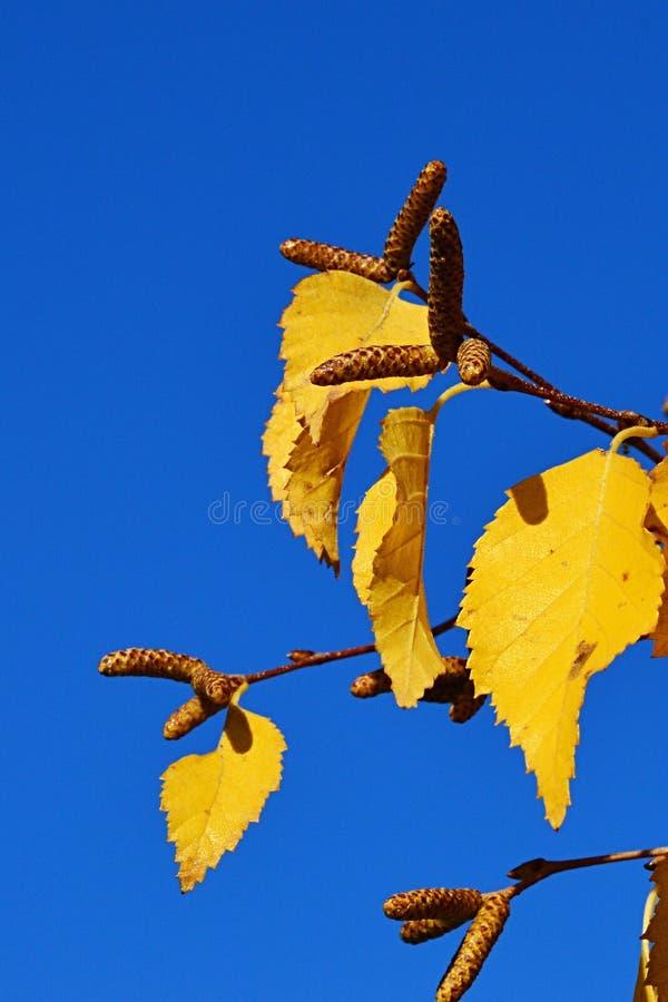 Foglie di autunno gialle luminose e baccelli eretti del seme di betulla asiatica Dahurica su una mancia di un ramo, chiari cieli  fotografie stock libere da diritti
