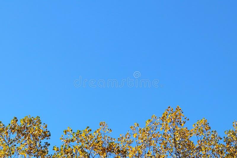 Foglie di autunno gialle sui rami di un albero contro il cielo blu Copispeses per l'iscrizione Cartolina d'auguri con la natura fotografia stock