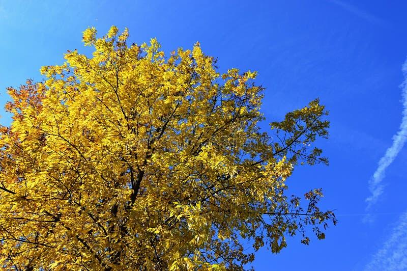 Foglie di autunno gialle sul grande albero a foglia larga contro cielo blu luminoso, sole di chiaro giorno di pomeriggio fotografia stock