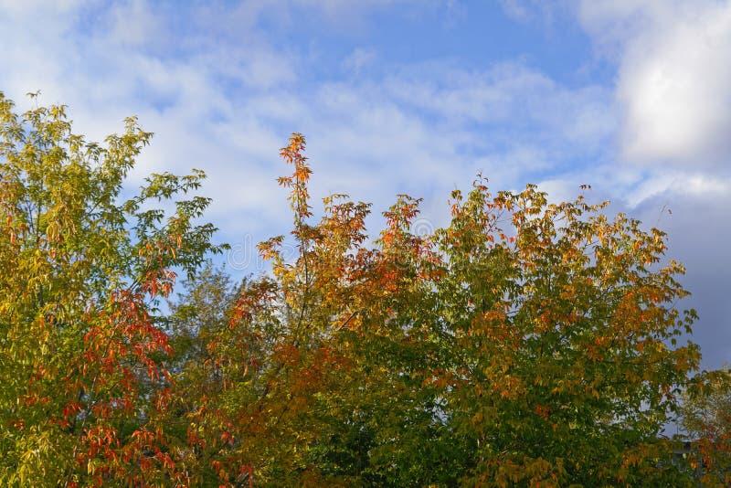 Foglie di autunno luminose sulle cime degli alberi contro il cielo blu e le nuvole bianche fotografie stock libere da diritti