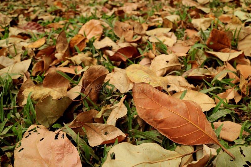 Foglie di autunno su erba verde durante la stagione che cambia per il fondo fotografie stock libere da diritti
