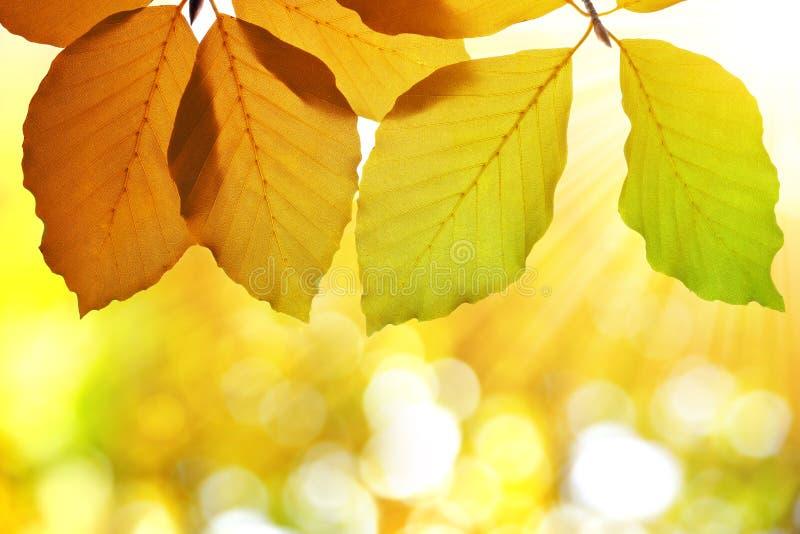 Foglie di autunno variopinte del faggio fotografia stock libera da diritti