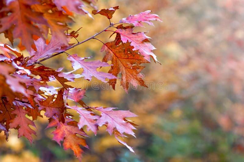 Foglie di autunno variopinte della quercia rossa su un background_ confuso fotografia stock
