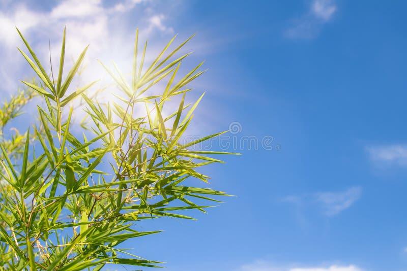 Foglie di bambù verdi con cielo blu e luce solare nei precedenti nel giorno soleggiato fotografia stock