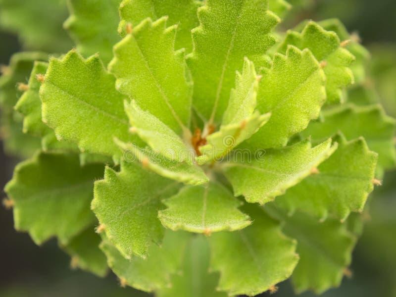 Foglie di Banksia immagine stock libera da diritti