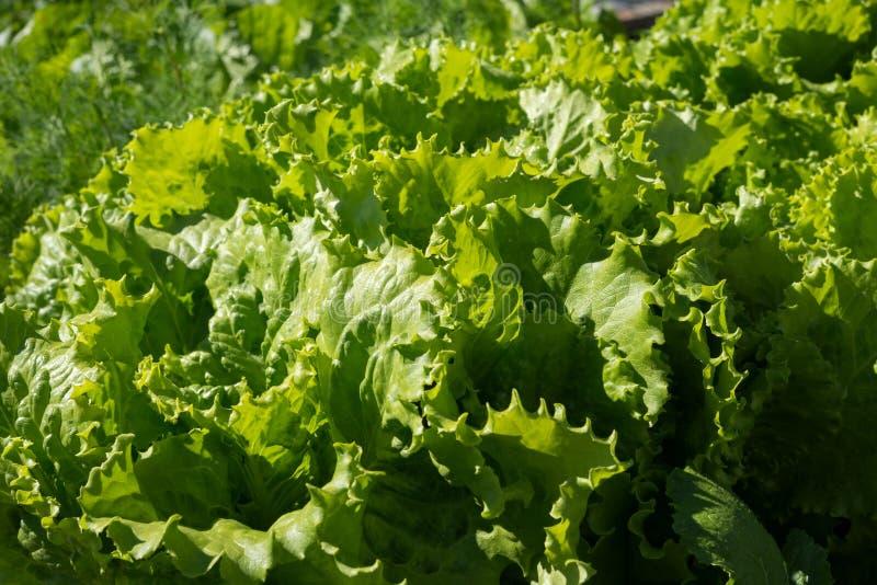 Foglie di coltivare lattuga fresca verde matura in un giorno di estate soleggiato fotografia stock
