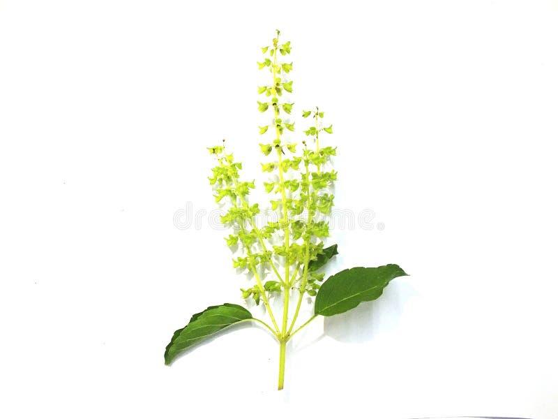 Foglie di erbe del basilico, spezie fragranti, gnocchi, alimento su un fondo bianco fotografia stock libera da diritti