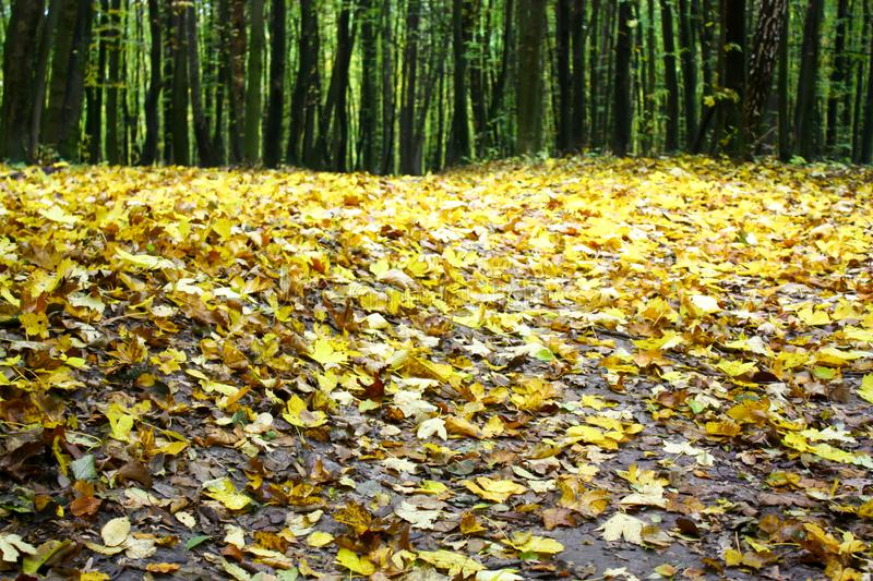 Foglie di giallo sparse sulla terra nel legno fotografie stock libere da diritti