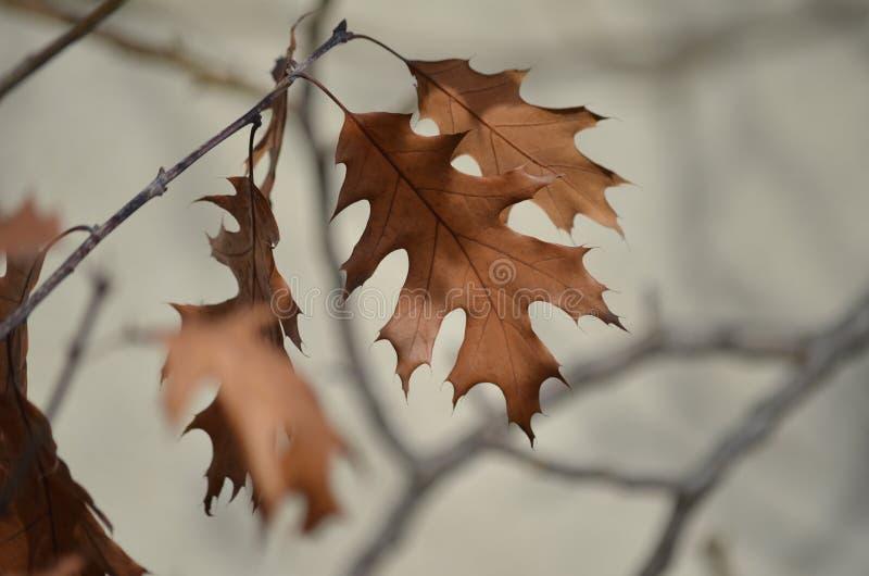 Foglie di inverno della quercia fotografie stock libere da diritti
