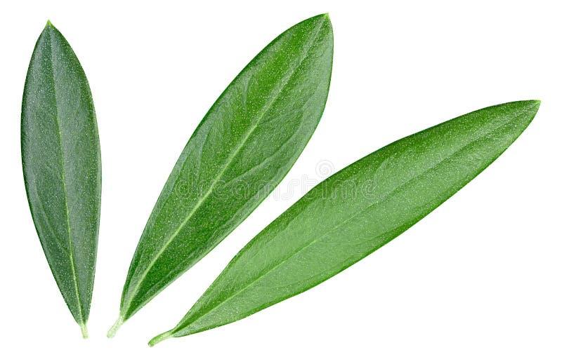 Foglie di oliva isolate in bianco fotografie stock libere da diritti