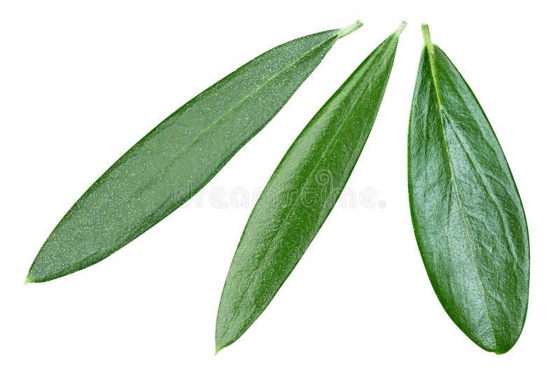 Foglie di oliva isolate in bianco fotografie stock