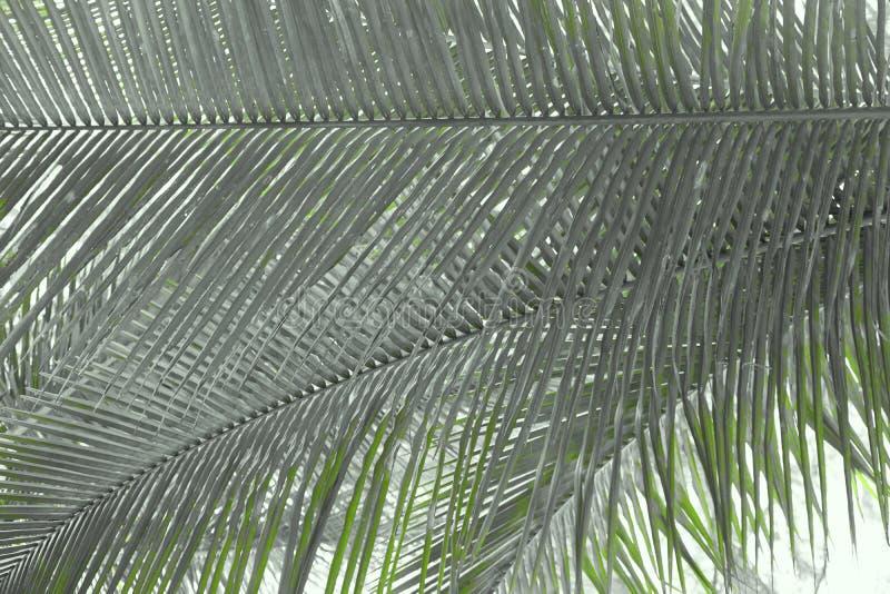 Foglie di palma - sfondo naturale astratto con le tonalità di verde fotografia stock