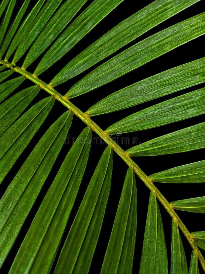 Foglie di palma verdi immagine stock