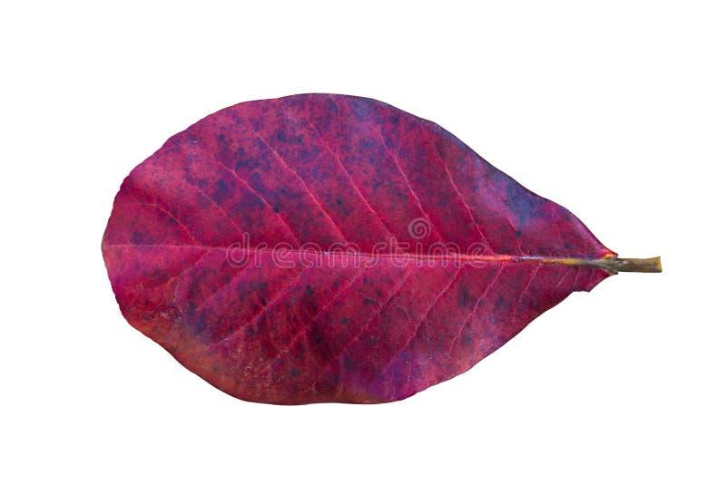 Foglie di rosso di autunno isolate su fondo bianco fotografia stock