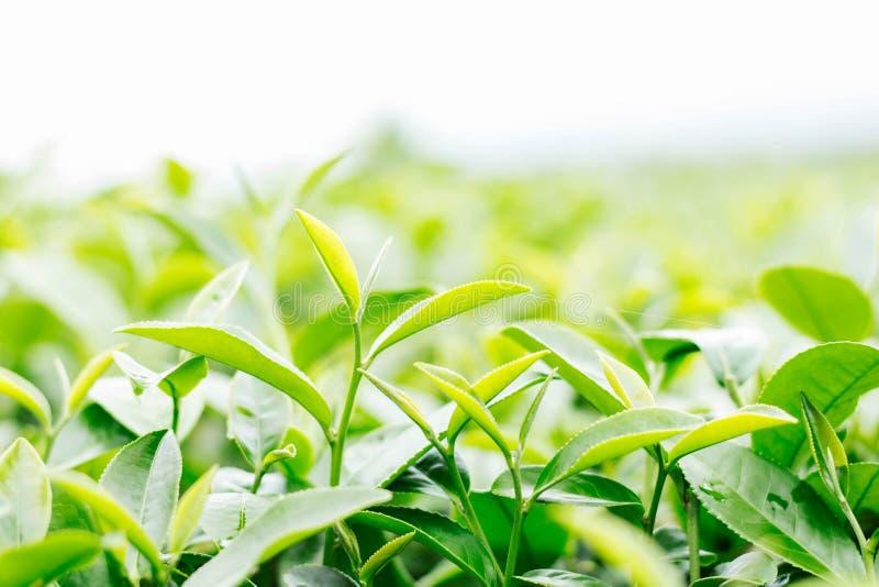 Foglie di tè con il cielo bianco fotografie stock libere da diritti