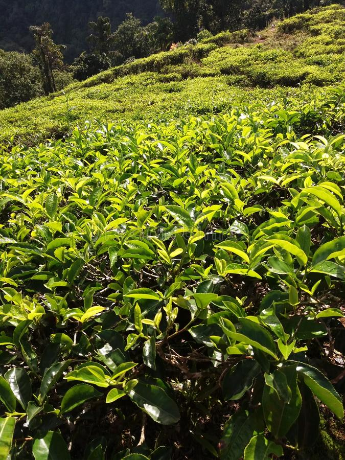 Foglie di tè fresche alla piantagione in Bogor, Indonesia immagini stock libere da diritti