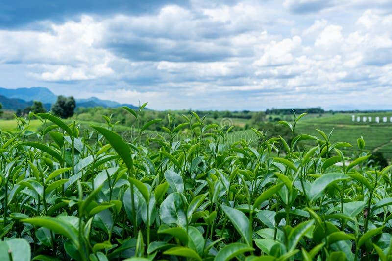 Foglie di tè nel giardino e nel bello cielo fotografia stock