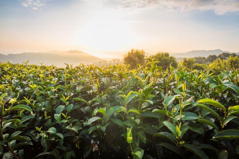 Foglie di tè nella mattina alla piantagione di tè 101 nel giorno luminoso sul fondo del cielo blu, attrazione turistica a Doi Mae fotografia stock