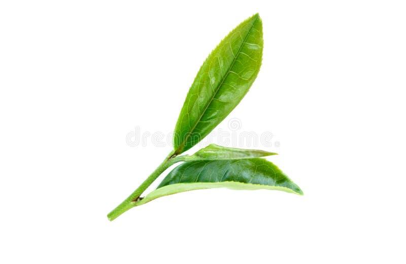 Foglie di tè su bianco immagini stock libere da diritti