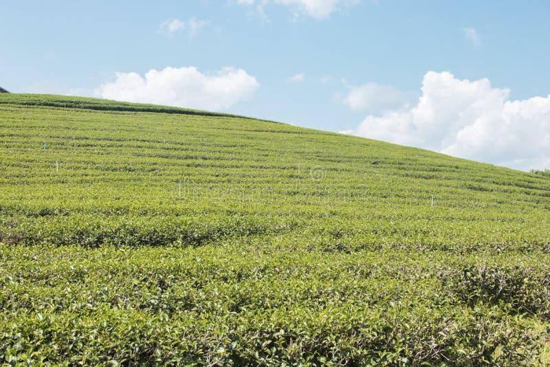 Foglie di tè verdi ed archivato su cielo blu fotografie stock