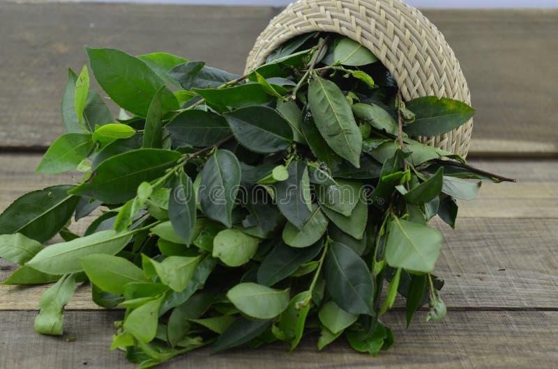 Foglie di tè verdi fresche su fondo di legno fotografie stock libere da diritti