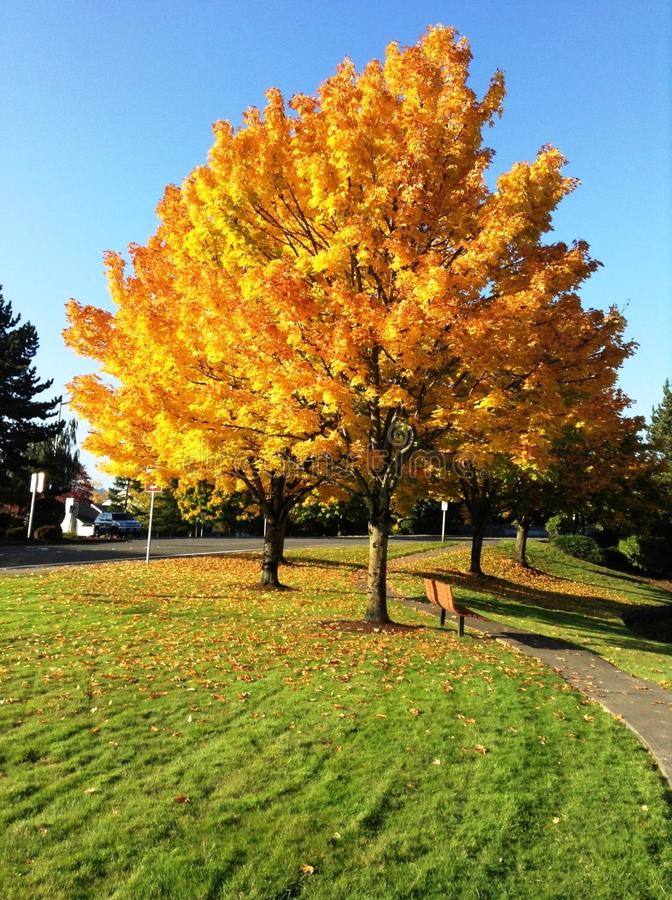 Foglie dorate in autunno immagini stock