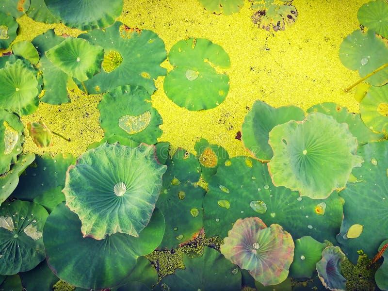 Foglie e lemma di Lotus nello stagno naturale fotografia stock libera da diritti