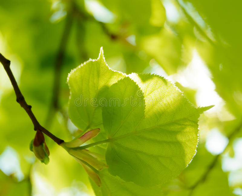 Foglie fresche di estate su fondo verde vago fotografia stock libera da diritti