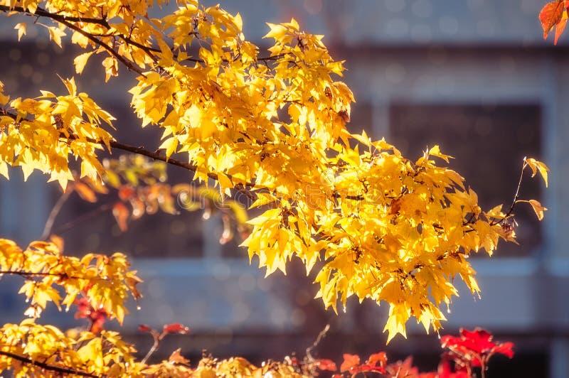 Foglie gialle all'ora dorata fotografia stock libera da diritti
