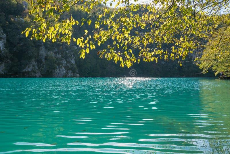 Foglie gialle che appendono sopra il lago soleggiato del turchese al plitvice fotografia stock libera da diritti