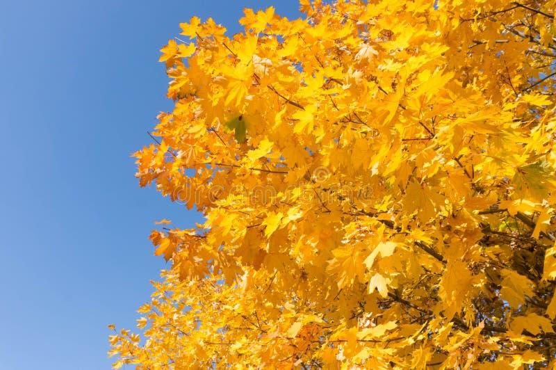 Foglie gialle dell'albero fotografie stock