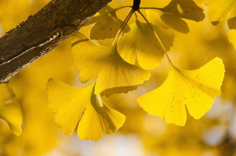 Foglie gialle di Ginko Biloba sul ramo fotografie stock