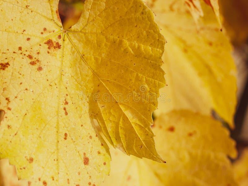 Foglie gialle dorate dell'uva accese dal sole di autunno fotografia stock libera da diritti