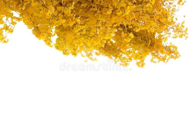 Foglie gialle fresche di ginkgo albero ramificato Isolato su fondo naturale bianco Copia spazio per digitare testo a frame comple immagine stock libera da diritti