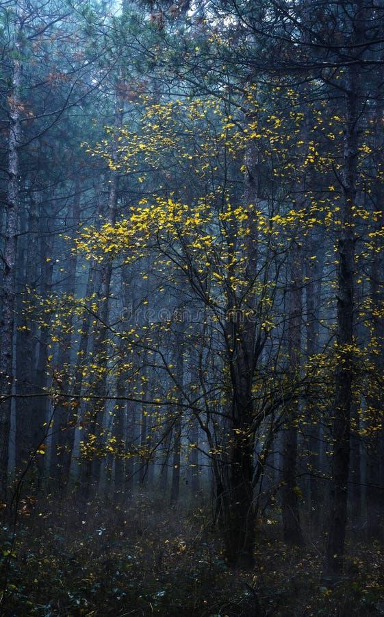 Foglie gialle in legno nebbioso fotografia stock libera da diritti